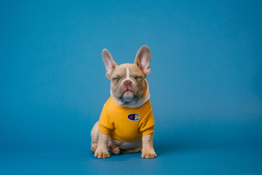 brown french bulldog wearing yellow shirt